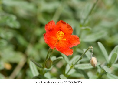 Helianthemum flower - red petals
