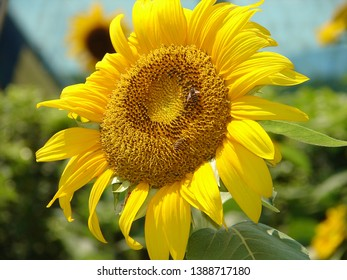 Helianthus annuus, the common sunflower - a large annual forb of the genus Helianthus grown as a crop for its edible oil and edible fruits. also used as wild bird food,as livestock forage
