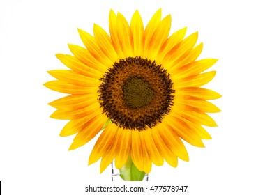 HELIANTHUS annuus 'Firecracker' sunflower over isolate white background. with clipping path