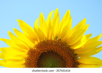 Helianthus annuus or Sunflower,close-up