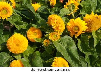 Helianthus annuus teddy bear many decorative sunflower flowers