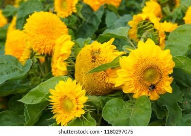 Helianthus annuus teddy bear sunflower many yellow flowers
