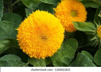 helianthus annuus teddy bear sunflower flowers