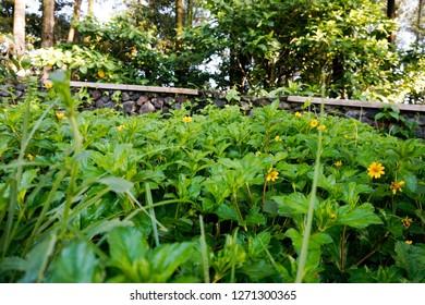 Helianthus flower beautiful,Jerusalem artichoke, bright yellow flowers in daylight. Helianthus tuberosusa species of perennial herbaceous tuberous plants of the Sunflower genus of the Asteraceae famil