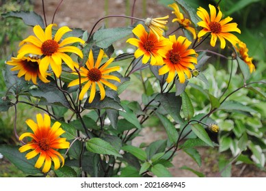 Helianthus helios red and yellow sunflowers blooming
