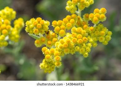 Arénarium d'Helichrysum, everlast nain, fleurs jaunes immortelle en gros plan