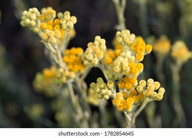 Helichrysum arenarium  dwarf everlast immortelle yellow flowers in meadow macro selective focus