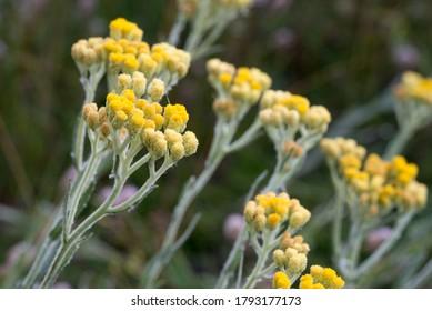 Helichrysum arenarium dwarn everlast immortelle fleurs jaunes dans une prairie mise au point sélective macro