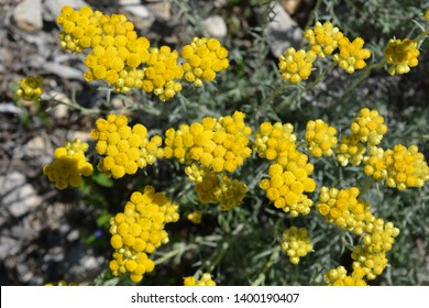 Helichrysum italicum, also known as Curry plant,  Everlasting or Strawflower, growing wild on the Costa Blanca, Spain