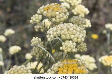 Helichrysum stoechas Common shrubby everlasting flower of god shrub plant with yellow flower corsages with waxy-looking calyx on unfocused greenish brown background light by flash