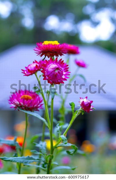 Helichrysum or Straw flower beautiful blur background at countryside Thailand