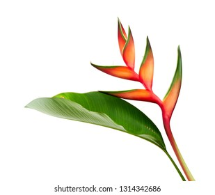 Heliconia bihai (Red palulu) flower with leaf, Tropical flowers isolated on white background, with clipping path