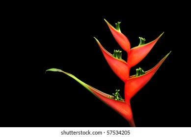 heliconia flower on dark background