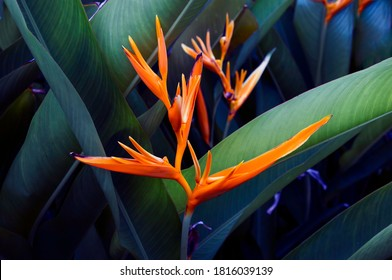 Heliconia flowers Dark green leaves It has beautiful yellow flowers with long large leaves.