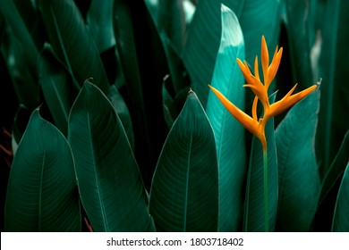 Heliconia psittacorum or Heliconia Golden Torch or False Bird of Paradise Flower. Exotic tropical flowers in the jungle garden with leaves background.