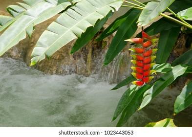 Heliconia rostrata inflorescence plany near Kuang Si Waterfalls, Luang Phrabang, Laos.