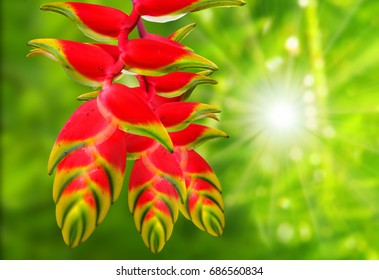 Heliconia rostrata also known as Hanging Lobster Claw or False Bird of Paradise. This plant, however, has downward-facing flowers, the flowers thus providing a source of nectar to birds.