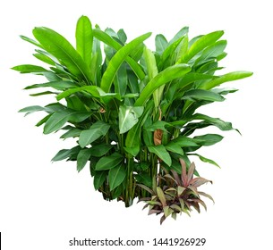 Heliconia the tropical foliage plant bush growing in wild isolated on white background , with clipping path
