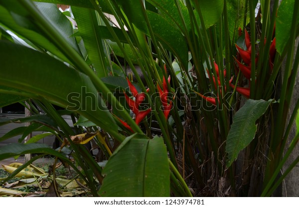 Heliconia Tropical House Plants Long Turbular Stock Photo ... on orchids red, mums red, cactus red, peppers red, design red, animals red, ornamental grasses red, pots red, berries red, nature red, flowers red,