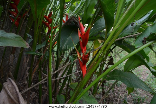 Heliconia Tropical House Plants Long Turbular Stock Photo ... on house plants with white leaves, house plants with bronze leaves, house plants with variegated leaves, house plants with light green leaves,