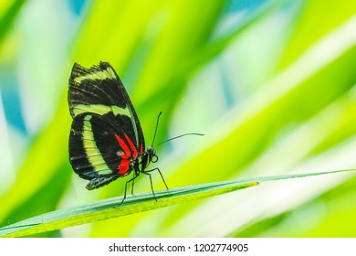 Heliconian long wing butterfly