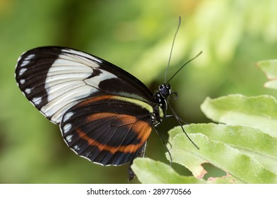 Heliconious Cyndo Butterfly on a leaf with green foliage background.