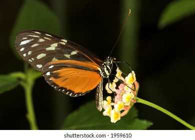 Heliconius hecale (Hecales Longwing)