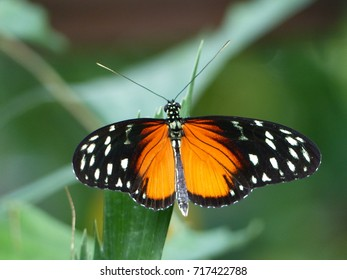 Heliconius ismenius, the Ismenius tiger or tiger heliconian, is a butterfly of the family Nymphalidae found in Central America and northern South America.
