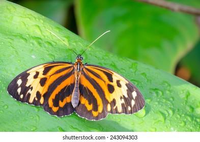 Heliconius ismenius (Ismenius Tiger, Tiger Heliconian) butterflyHeliconius ismenius butterfly