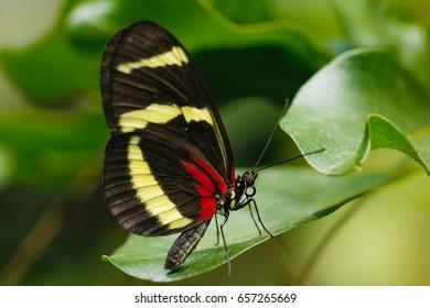 Heliconius longwing butterflies - Postman