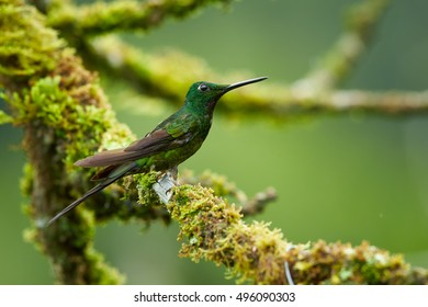 Heliodoxa imperatrix,  Empress Brilliant, green colombian hummingbird, perched on mossy twig in tropical moist montane forest. Colombia, Tatama National Park, Montezuma area.