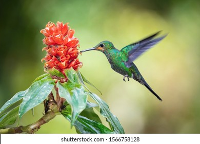 Heliodoxa jacula, Green-crowned brilliant The Hummingbird is hovering and drinking the nectar from the beautiful flower in the rain forest. Nice colorful background.