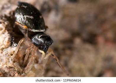 Heliophanus cupreus female (Salticidae)