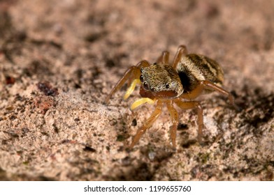 Heliophanus tribulosus female (Salticidae)