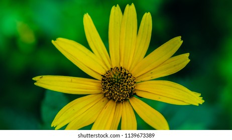 Tall yellow flowers images stock photos vectors shutterstock heliopsis helianthoides one yellow flower background perennial close up similar to the yellow mightylinksfo