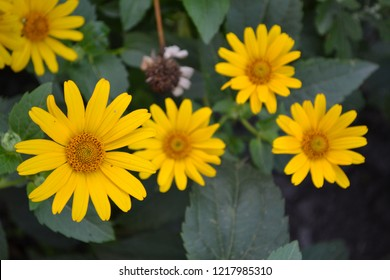 Heliopsis helianthoides. Perennial. Similar to the daisy. Garden. Flowerbed. Floriculture. Yellow cute flowers. Large flowers bushes. Green leaves. Horizontal photo