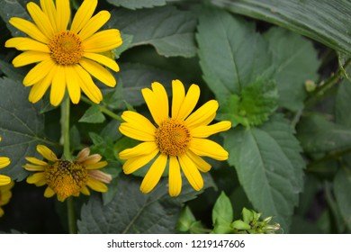 Heliopsis helianthoides. Perennial. Similar to the daisy. Garden. Flowerbed. Floriculture. Flowers. Horizontal photo