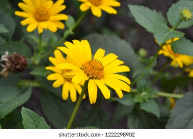 Heliopsis helianthoides. Perennial. Similar to the daisy. Garden. Flowerbed. Floriculture. Flowers. Horizontal