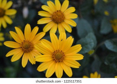 Heliopsis helianthoides. Perennial. Similar to the daisy. Garden. Flowerbed. Floriculture. Yellow cute flowers. Horizontal