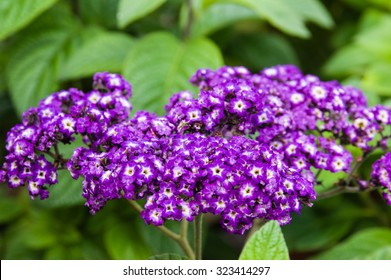 Heliotrope plants in bloom with blue flowers