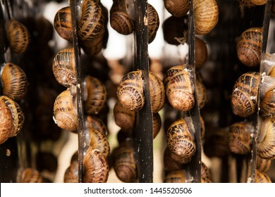 Helix Aspersa Muller, Maxima snail, organic farming, Farm Snail, which grows edible snails, shelf with snails,