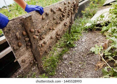 Helix Aspersa Muller, Maxima Snail, Organic Farming, Snail Farming, which grows edible snails on wooden snails boards, a worker shows a way to grow and feed snails, only human hands are visible.