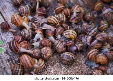 Helix Aspersa Muller, Maxima Snail, Organic Farming, Snail Farming, Edible snails on wooden snails boards. Production of Snails. Snail Farm. Mollusk snails with brown striped shell