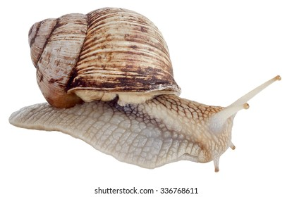 Helix pomatia common names the Burgundy snail Roman snail edible snail or escargot isolated on the white background