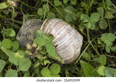 Helix pomatia, Edible snail, Burgundy snail, Roman snail, Vineyard snail or Apple snail from Germany, Europe
