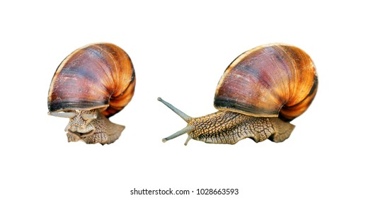 Helix pomatia isolated on white background. Roman or Burgundy snail, edible snail or escargot. Large, edible, air-breathing land snail, terrestrial pulmonate gastropod mollusk in the family Helicidae