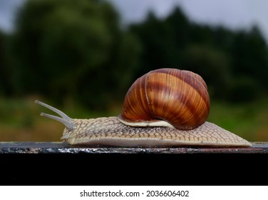 Helix pomatia is also a Roman snail a Burgundian snail, an edible snail or an escargot, is a view of a large edible air-air drying snail, a terrestrial mollusc from gastropods. Free space for text