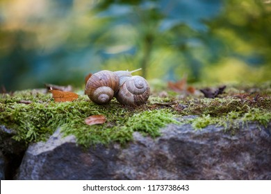 Helix pomatia (Roman snail, Burgundy snail, edible snail,  escargot) is a species of large, edible, air-breathing land snail. Mating of two snails