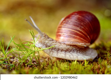 Helix pomatia also Roman snail, Burgundy snail, edible snail or escargot, is a species of large, edible, air-breathing land snail, a terrestrial pulmonate gastropod mollusk in the family Helicidae.