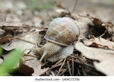 Helix pomatia also Roman snail, Burgundy snail, edible snail or escargot, is a species of large, edible, air-breathing land snail, a terrestrial pulmonate gastropod mollusk in the family Helicidae